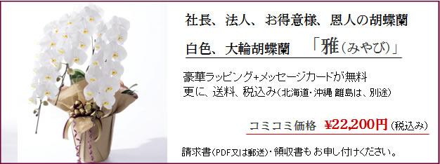 陣中見舞いに人気の胡蝶蘭ギフト/雅